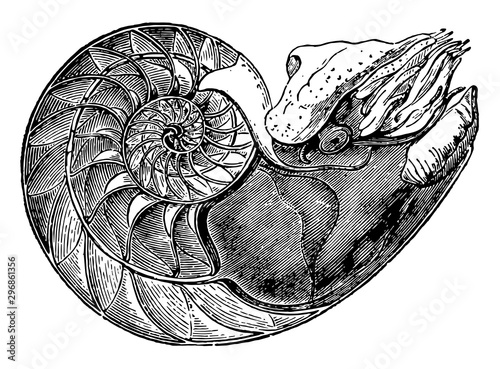 Fotografie, Obraz  Nautilus Pompilius showing the interior of the lower cell to which the animal is fixed vintage illustration