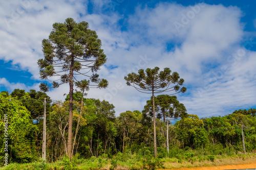 Photo Araucaria pine trees, symbol of Parana