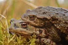 Mating Common Toad ( Bufo Bufo )