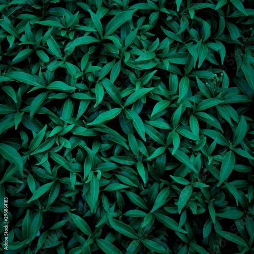 Papier Peint - green leaf natural for background, tropical leaf, tiny green leaf