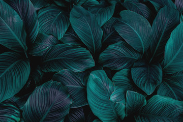 leaves of Spathiphyllum cannifolium, abstract dark green texture, nature background, tropical leaf