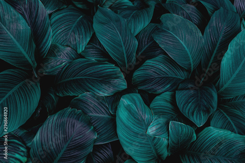 Poster de jardin Hortensia leaves of Spathiphyllum cannifolium, abstract green texture, nature background, tropical leaf