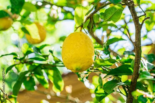 Stampa su Tela Limonero en un día soleado