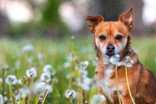 Photo Dog with Dandelions