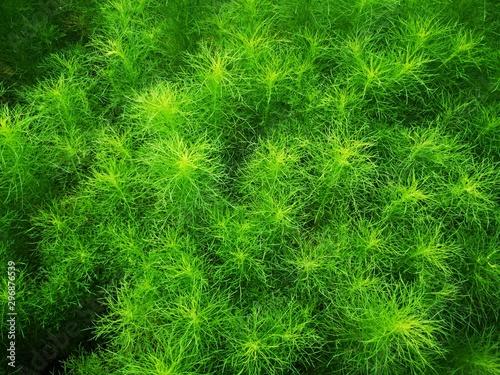 Beautiful green grass plant. Beautiful green grass texture. - 296876539