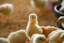Chiken 7 Days Old