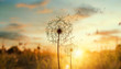 dandelion in the setting sun photo background