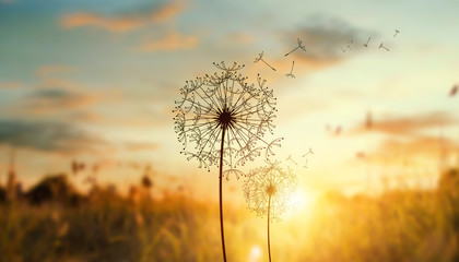 dandelion in the setting sun photo background