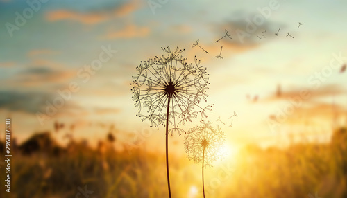mata magnetyczna dandelion in the setting sun photo background