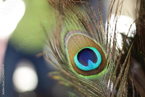 Foto op Plexiglas Pauw peacock feather close up