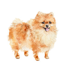 Cute Orange Pomeranian Dog Iso...