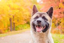 Akita Breed Dog On A Walk In T...