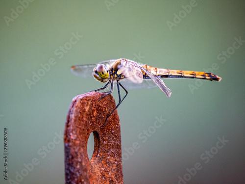 Fototapeta  Autumn darter Sympetrum frequens dragonly fence post 2