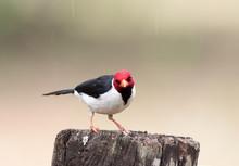 Yellow Billed Cardinal Bird (P...