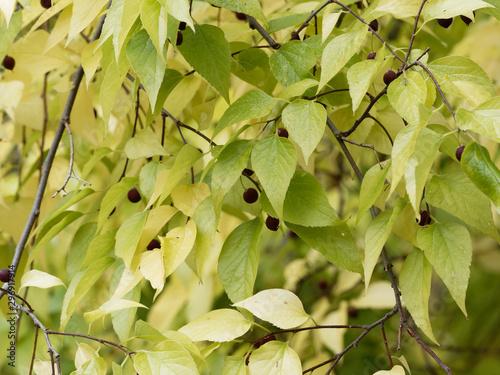 Cuadros en Lienzo Celtis occidentalis   Micocoulier occidental aux feuilles ovales et jaunies d'au
