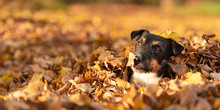 Cute Little Jack Russell Terrier Dog Has A Lot Of Fun In Autumn Leaves And Is Playing Alone With Leaves