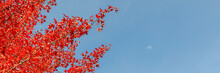 Coloured Leaves Of A Tree In Autumn In Front Of A Blue Sky For Panorama Or Banner Size