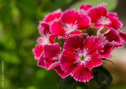 Photo Sweet William flower