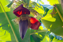 Beautiful Of  Banana Flower.  Banana Is Delicious Tropical Fruit At Thailand,