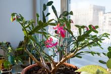 Indoor Plant Schlumbergera. Ho...