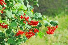 Ripe Viburnum On Branch