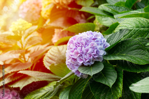 Poster de jardin Hortensia Beautiful blue hydrangea or hortensia flower (Hydrangea macrophylla) in slight color variations ranging from blue to purple.
