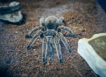 Spider Tarantula. Nice Big Tarantula Spider In The Zoo