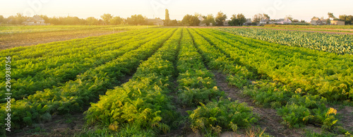 Carrot plantations in the sunset light Canvas Print