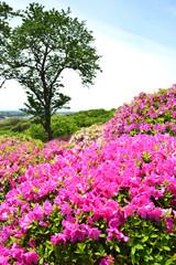 Fototapeta Ogrody 太田和つつじの丘 横須賀市太田和 日本