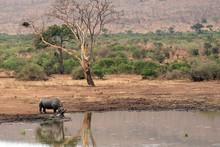 Rhino Drinking At The Pool Kru...