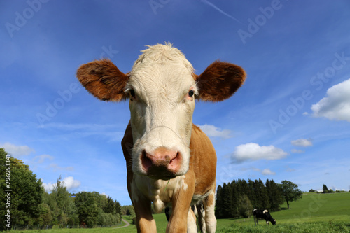 Kuh auf der Wiese (Simmentaler Fleckvieh) Fotobehang