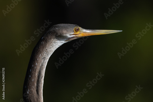 Close-up of an anhinga's head Wallpaper Mural