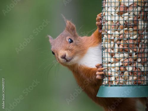 Fotografía  Ecureuil roux (Sciurus vulgaris) accroché à une mangeoire remplie de cacahuètes