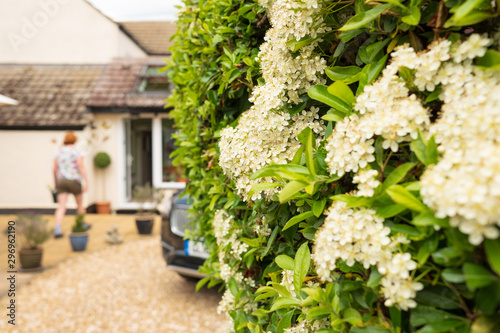 Shallow focus of a summer bloom on a well maintained privet hedge seen in at the back of a large house Canvas Print