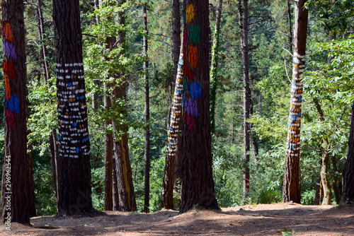 Photo  bosque de oma, the painted forest by artist Agostin Ibarrola near Bilbao in nort