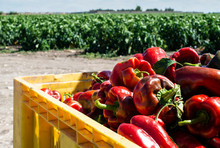 Mature Big Red Peppers In Crat...