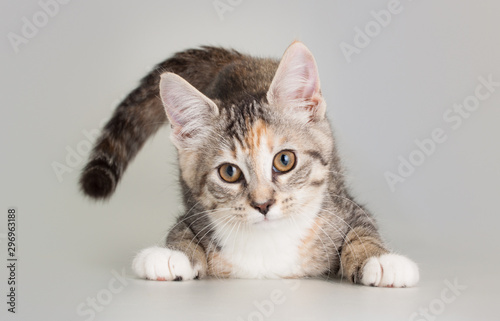 In de dag Kat Adorable kitten eating as domestic animal portrait