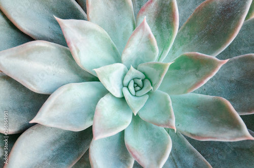 Fototapeta  Echeveria succulent on a white background obraz