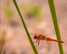 Flame Skimmer Perched Horizont...