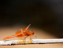 Flame Skimmer Perched On Branch
