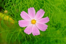 Bright Shot Of A Pink Cosmos Bipinnatus Growing In A Greenfield