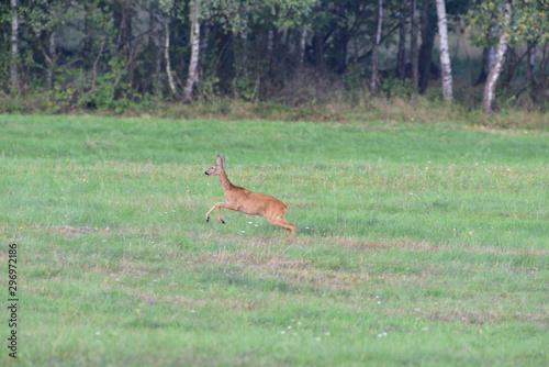 Roe running on the green meadow in rut season