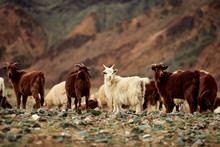 Fluffy Cashmere Goats On The P...