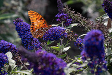 Gulf Fritillary On A Buddleia
