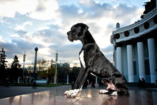 Young Black Great Dane Poses In The City In The Summer