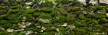 Panoramic Texture Of Old Stone Wall Covered Green Moss. Panorama Background