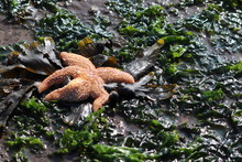 Star Fish Left Behind At Low Tide