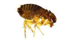 Flea Flea - Pulex Isolated On A Clear White Background. Parasite Of Humans And Animals. Photo Taken With The Use Of A Microscope.
