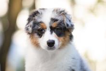 Adorable Blue Merle Australian Shepherd Dog Puppy Posing In Summer
