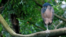 Boat-billed Heron Cochlearius ...